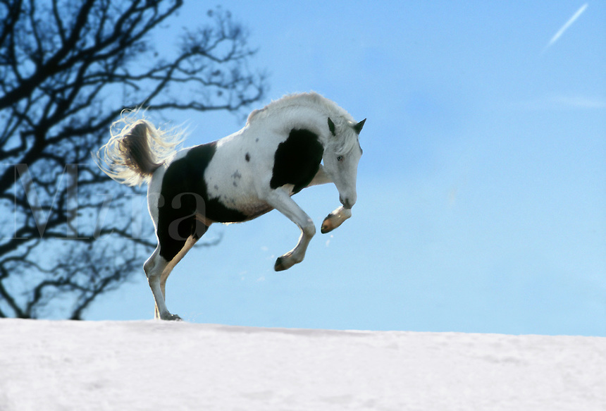 Tennessee Walking Horse stallion plays in snow..