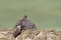 Wiesenweihe, Weibchen, Wiesen-Weihe, Weihe, Circus pygargus, Montagu'es harrier