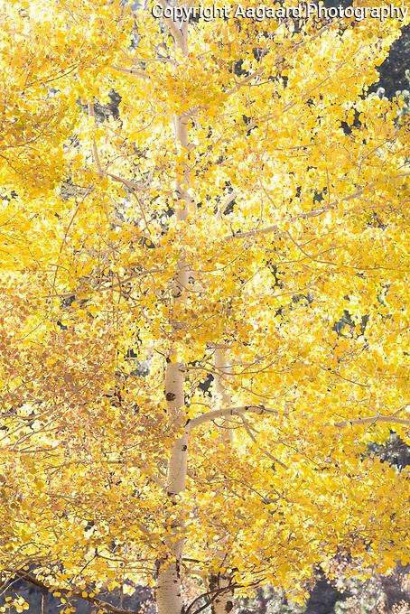 Backlit aspen, Rocky Mountain National Park