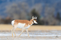 Male Pronghorn (Antilocapra americana) sauntering across a frozen field. Pronghorn are the fastest land mammals in the Western Hemisphere, and only the Cheetah is faster. Scientists speculate that the Pronghorn, being built for maximum predator evasion through running, evolved to escape from extinct predators such as the American cheetah. Its speed greatly exceeds that of any existing North American predators. The Pronghorn has a large windpipe, heart, and lungs to allow it to take in large amounts of air when running. Additionally, their hooves have two long, cushioned, pointed toes that absorb shock when running at high speeds. They also feature an extremely light bone structure and hollow hair. [Adapted from Wikipedia]
