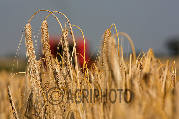 Ripe Winter Barley Ready for harvesting