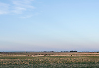 Cows graze on dried up and abandoned farm land in Crowley County, Colorado, Thursday, May 19, 2016. Crowley County, once a thriving agricultural community with over 50,000 acres of farm land, sold it's water rights the City of Aurora for municipal use and now farms a little more than 5,000 acres of land. The result has seen dried and dead farm land and abandoned homesteads. Crowley County represents a dire look at how mismanaged water rights can have devastating effects on an already drought prone region.<br /> Photo by Matt Nager