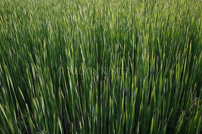 field of cattails in wisconsin