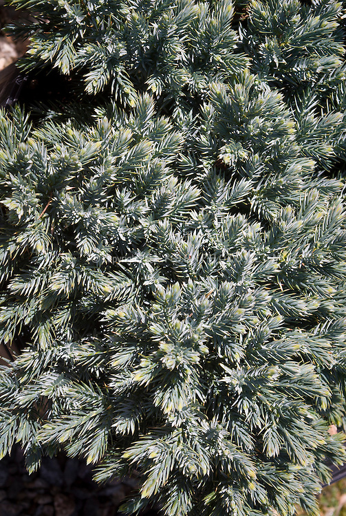 Juniperus squamata 'Blue Star', ground cover blue juniper evergreen shrub bush
