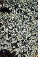 Juniperus squamata 'Blue Star', ground cover blue juniper evergreen shrub bush