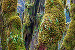 Moss-laden trees, Hoh Rain Forest, Olympic National Park, Washington, USA<br /> <br /> Canon EOS 5DS R, EF100-400mm f/4.5-5.6L IS II USM lens, f/22 for 5 seconds, ISO 100