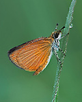 A Least Skipper clings to a grass stalk on a dewy morning in a wet meadow.