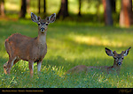 Mule Deer at Sunset in Spring, Black-tailed Deer, Odocoileus hemionus, Wawona Meadow, Yosemite National Park