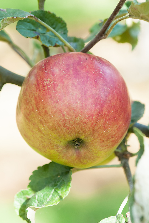 """Apple 'Bowden's Seedling', late September. """"From Devon pre-1931 but may be same as the 1826 US apple 'Jonathan'."""" www.orchardnetwork.org.uk"""