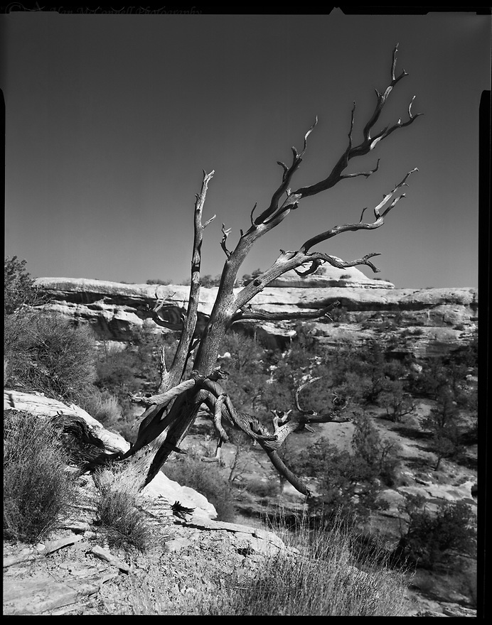 """""""Sentinel at Owachomo""""<br /> Natural Bridges National Monument, Utah<br />  2010<br /> Natural Bridges National Monument was established in 1904, creating Utah's first of many areas in the National Park System.  The park contains three magnificent natural bridges named Sipapu, Kachina, and Owachomo.  This old tree with its spirals and other fine textures stands watch for hikers from Owachomo. <br /> <br /> 4 x 5 Large Format Film"""