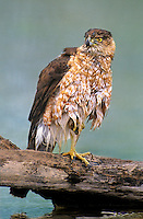 541720078 a wild juvenile coopers hawk accipiter cooperii perches on a log after a bath in a small pond on a private ranch in the rio grande vallley of south texas