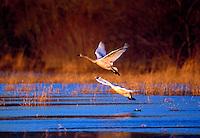 Juvenile Tundra Swans in flight. North Carolina.