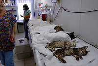 After surgery, cats are lined up in beds as volunteers spend time caring for homeless kitties at the clinic. The cats are trapped, spayed or neutered, give vaccinations and aids and leukemia tests, their left ear is clipped to show <br /> they've been caught, and they are released (or adopted if possible) and fed by volunteers. <br /> One veterinarian estimates there are 10,000 feral cats in the Keys.