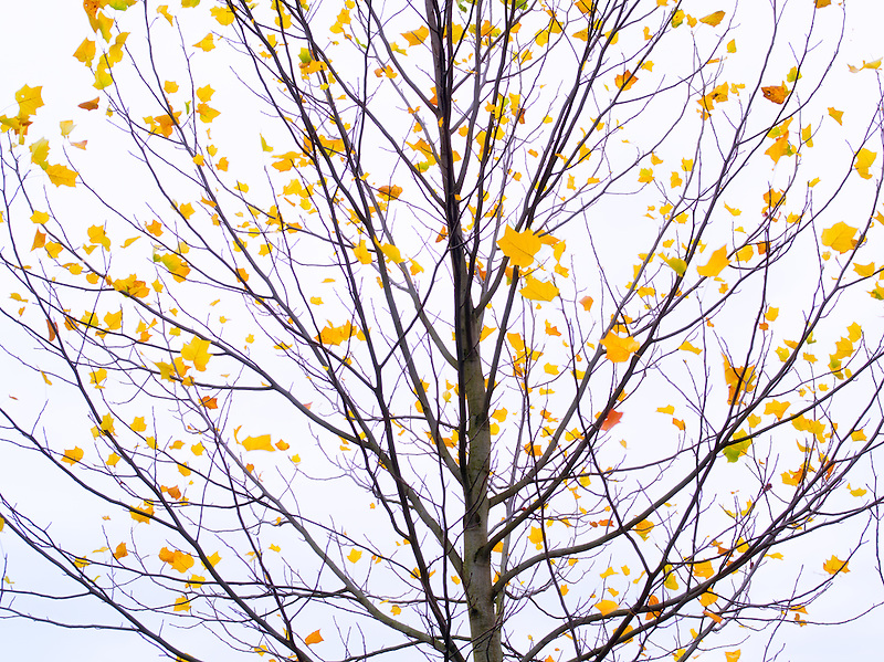 Maple tree with just a few autumn leaves. Wilsonville, Oregon