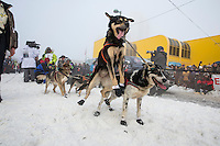 A Newton Marshall's dog leaps to go while at the start line during the ceremonial start of the Iditarod sled dog race in downtown Anchorage Saturday, March 2, 2013. ..Photo (C) Jeff Schultz/IditarodPhotos.com  Do not reproduce without permission