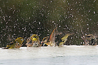 Multiple Hawaiian tropical birds take advantage of an opportunity for a good bath.