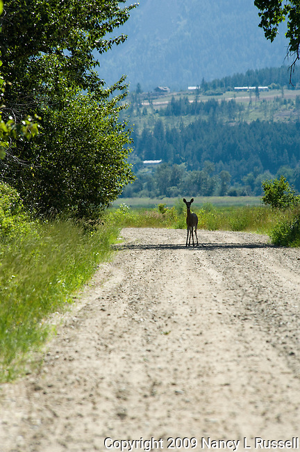 A deer on the road at the Boundary Creek Wildlife Management Area