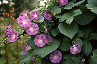 Convolvulus major in pink flowers with stars center