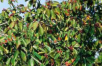 Gewöhnlicher Faulbaum, Früchte, Frangula alnus, Rhamnus frangula, Alder Buckthorn, Common Buckthorn