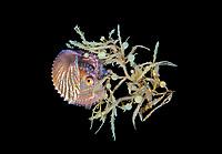 Paper Nautilus, Argonauta species, female, found hiding in Sargassum during blackwater drift dive, Palm Beach, Florida, USA, Atlantic Ocean