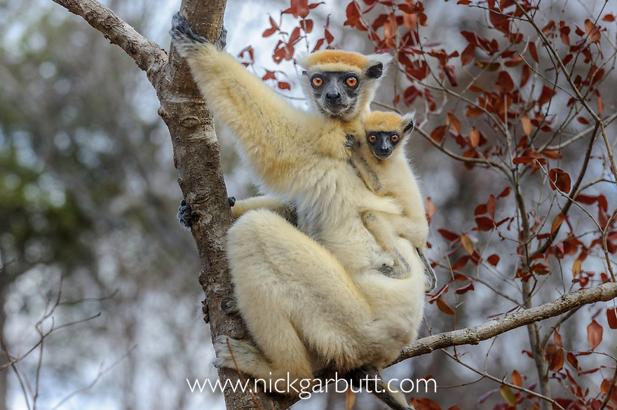 Female Golden-crowned Sifaka (Propithecus tattersalli) carrying infant. Forests adjacent to the village of Andranotsimaty, near Daraina, northern Madagascar. (Critically Endangered)