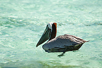 Brown Pelican.Sapphire Beach.St Thomas, US Virgin Islands