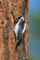 Male Hairy Woodpecker (Picoides villosus) looking for food on side of ponderosa pine tree.  Western U.S.