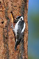 Male Hairy Woodpecker (Picoides villosus) looking for food on side of ponderosa pine tree.  Western U.S.