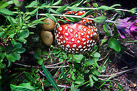 Amanita muscarie found along the Missouri Lakes Trail.