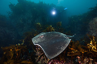 RS0416-D. Smooth Stingray (Dasyatis brevicaudata), also called Short-tail Stingray. Growing to almost 7 feet wide and 800 pounds, it is the largest stingray in the world, found around South Africa, South Australia, and New Zealand. Feeds on fishes, bivalves, squid and crustaceans. Not aggressive, but barbed tail can inflict serious even potentially fatal wound. Tasmania, Australia, Pacific Ocean.<br /> Photo Copyright &copy; Brandon Cole. All rights reserved worldwide.  www.brandoncole.com