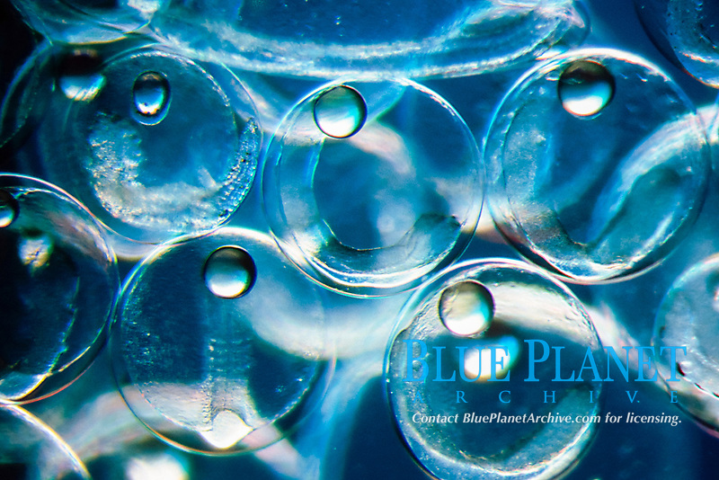 pelagic jack fish eggs ( Carangidae ) with oil droplets & embryos visible, Great Barrier Reef, Australia