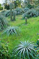 Le Domaine du Rayol:<br /> le jardin du Chili, Puya (Puya berteroniana &amp; Puya alpestris) et Echinopsis chilensis.