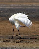 White morph reddish egret preening