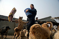 Rescued dogs gather for feeding time at Ha Wenjin's animal rescue farm outside of Nanjing, Jiangsu, China.  About 1000 animals, both dogs and cats, live at the no-kill shelter where they have spacious indoor and outdoor living areas.  At times other than feeding time, the animals are not as crowded as this picture depicts.