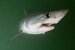Porbeagle Shark, Lamna nasus, Bay of Fundy, New Brunswick, Canada, Atlantic Ocean.