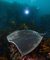 RS0416-Dv. Smooth Stingray (Dasyatis brevicaudata), also called Short-tail Stingray. Growing to almost 7 feet wide and 800 pounds, it is the largest stingray in the world, found around South Africa, South Australia, and New Zealand. Feeds on fishes, bivalves, squid and crustaceans. Not aggressive, but barbed tail can inflict serious even potentially fatal wound. Tasmania, Australia, Pacific Ocean. Cropped to vertical from native horizontal format.<br /> Photo Copyright &copy; Brandon Cole. All rights reserved worldwide.  www.brandoncole.com