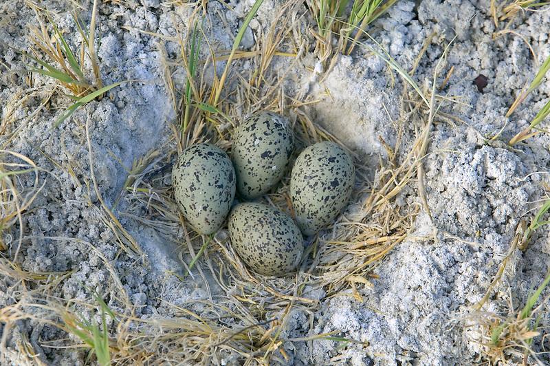 Avocet eggs at Summer Lake State Wildlife Refuge, Oregon