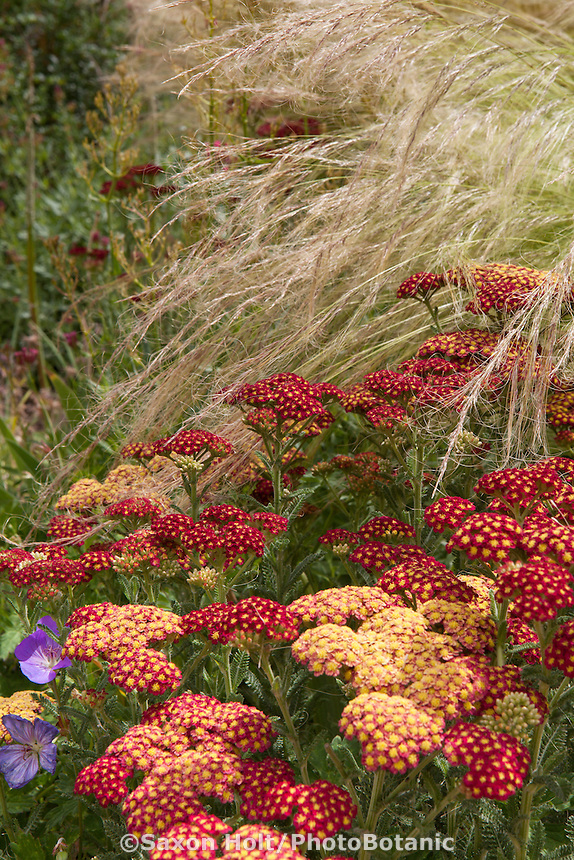 Achillea millefolium 'Paprika', flowering perennial yarrow with Mexican Feather Grass in garden