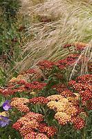 Achillea millefolium 'Paprika', flowering perennial yarrow with Mexican Feather Grass in garden