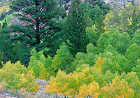 Fir and fall colored aspens trees. June Lakes Road. California.