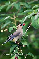 01415-02514 Cedar Waxwing (Bombycilla cedrorum) in Serviceberry Bush (Amelanchier canadensis) eating berry,   Marion Co., IL