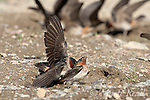 Cliff Swallows (Petrochelidon pyrrhonota) forced copulation attempt at muddy puddle where  they are gathering mud as nesting material, Mono Lake Basin, California, USA<br /> Nature Picture Library