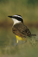Great Kiskadee, Pitangus sulphuratus, adult drinking, Lake Corpus Christi, Texas, USA, April 2003