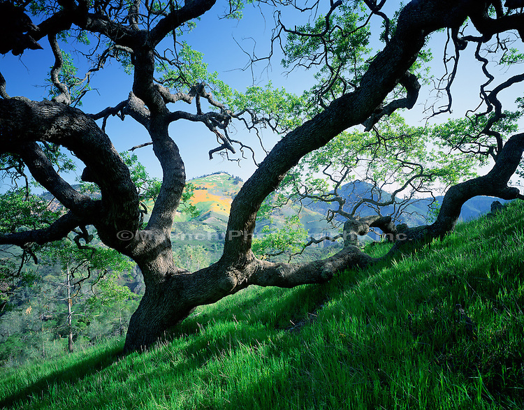 """Valley Oak, Birabent Canyon Los Padres NF  CALIFORNIA"""