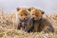 Red fox kits snuggle on the tundra after after taking some of their first steps outside of the den during a vibrant spring day on Alaska's north slope.