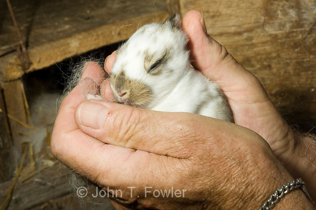 Speckled Giant, Domestic rabbits,