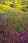 Carrizo Plain National Monument, California:<br /> Spring blooms of owls clover and fiddleneck on a rolling hillside