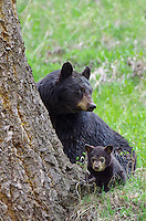 "Wild Black Bear (Ursus americanus) mother with cub.  Western U.S., spring. (This is what is known as a ""coy""--cub of the year.)"