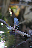 Green Heron feeding on small fish in a pond.