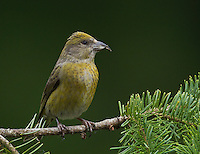 Red crossbill (Loxia curvirostra) Adult female perched on a fir branch showing the colors of her breast plumage.<br /> Woodinville, King County, Washington State<br /> 5/27/2012